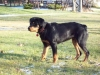 Rottweiler, 5 months, black and tan