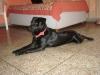 Rottweiler, 10 months, Pure Black