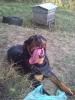 Rottweiler, 1 year, black