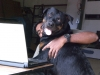 Rottweiler, 18 months, black