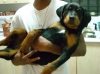 Rottweiler, 3 months, black
