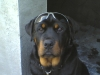 Rottweiler, 6 mths, black wid tan
