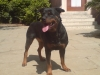 Rottweiler, 3 years, black & tan