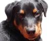 Rottweiler, 6 months, Black n Tan