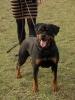 Rottweiler, 10.01.2008, 1b