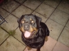 Rottweiler, 5, black/tan