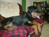 Rottweiler, 5 months, black & mahogni