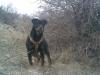 Rottweiler, 6 month, Black