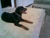 Rottweiler, 7 month, Black