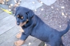 Rottweiler, 1 mounth, Black and brown