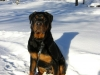 Rottweiler, 7-8 mounths, Black and brown