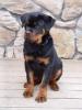 Rottweiler, 3 months, black & tan