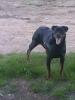 Rottweiler, 8 Month, Black