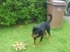 Rottweiler, 6 months, black tan
