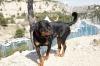 Rottweiler, 2.5, black tan