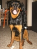 Rottweiler, 10 months, black/ tan