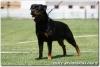 Rottweiler, 20 months, black