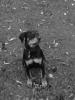 Rottweiler, 4mos, black/mahogeny