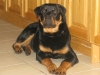 Rottweiler, 7 months, black and tan
