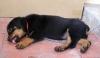 Rottweiler, 11 months, black