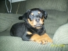Rottweiler, 2 months, black-brown markings