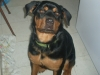 Rottweiler, 7 Months old, Black and Brown