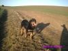 Rottweiler, 6, black&tan