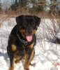 Rottweiler, 1 year old, Black and Tan