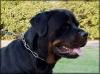 Rottweiler, 5, black