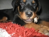Rottweiler, 1, black and tan