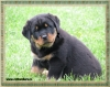Rottweiler, 2 week, black