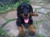 Rottweiler, 85 days, Black & Tan