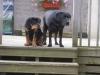 Rottweiler, 5 months, blk/tan