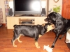 Rottweiler, 4 months, Blk/tan
