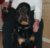 Rottweiler, 3, black/tan