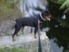 Rottweiler, 10 months, black & tan
