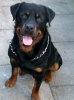 Rottweiler, 4, Black/Tan