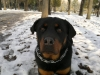 Rottweiler, 1, Black&Brown