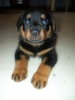 Rottweiler, 6 month, tan