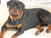 Rottweiler, 15 month, Black & tan