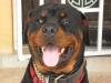 Rottweiler, 15 months, black & tan