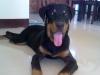 Rottweiler, 5 months old, black/mahogany