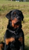 Rottweiler, 4 months, black and tan