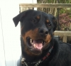 Rottweiler, 3, black/rust