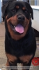 Rottweiler, 3 years old, Black and gold