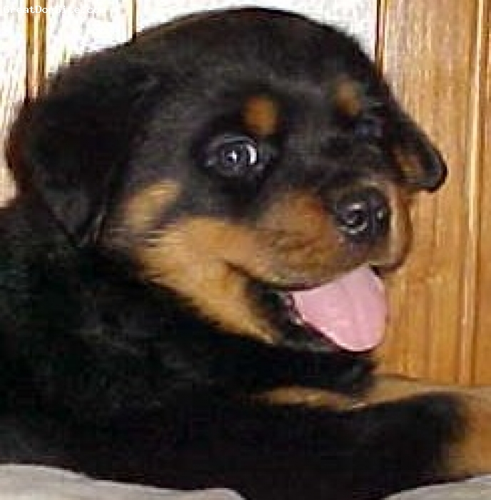Rottweiler, 8 WEEKS, BLACK/MAHOGANY, HE IS A PUP THAT I BROUGHT FROM A FREIND HE WAS SO CUTE AT THIS AGE.