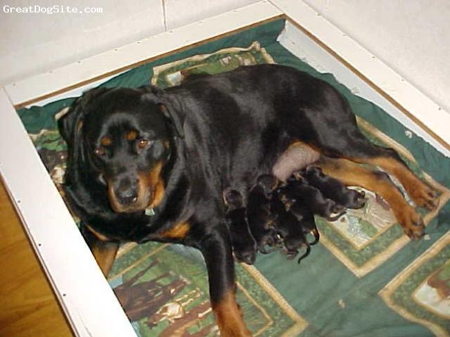 Rottweiler, JUST BORN, BLACK /AHOGANY,