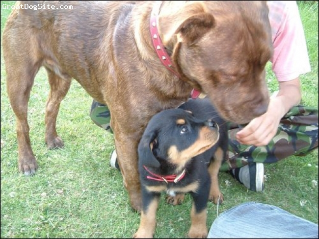 Rottweiler, 2-3 months, black, pixi when very young with marley, a bull mastiff cross staff, 1 year old