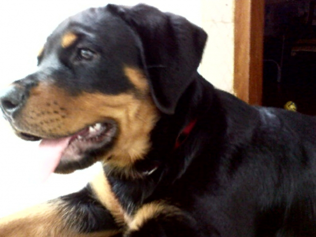 Rottweiler, 4month, black and tan, my dog