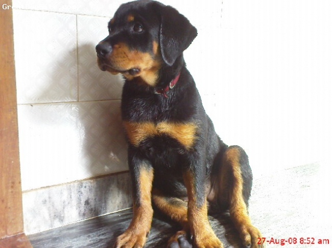 Rottweiler, 4month, black&tan, RUNNY